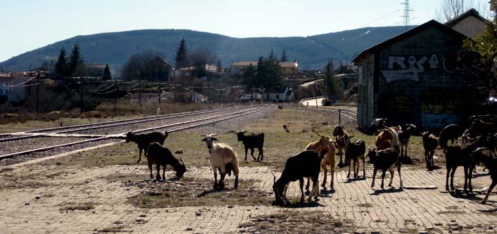 Rebaño de cabras en la estación de Robregordo