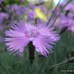 Una flor del jardín botánico de Akureyri