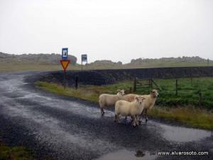 Ovejas mojadas en la ruta